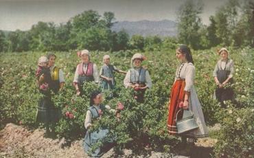 Cosecha de la rosa Bulgaria